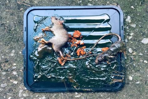 cara-menangkap-tikus-di-rumah-thumb