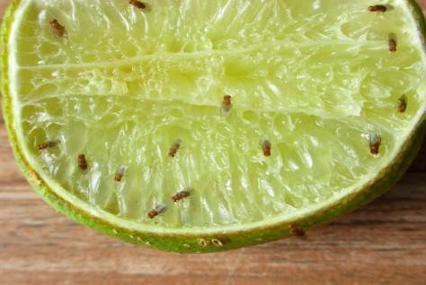 lem-lalat-buah1
