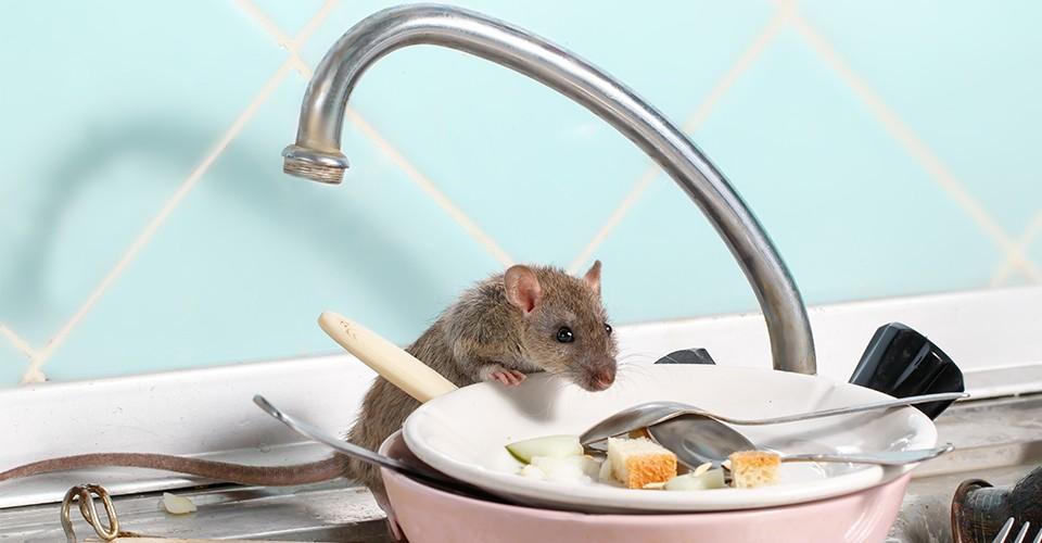 tempat-tikus