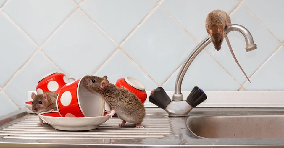 hantavirus-tikus