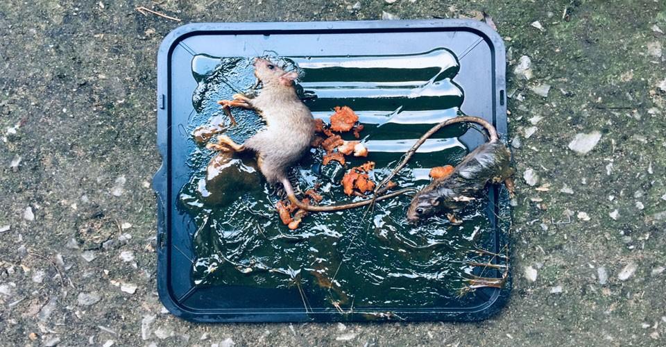 cara-menangkap-tikus-di-rumah