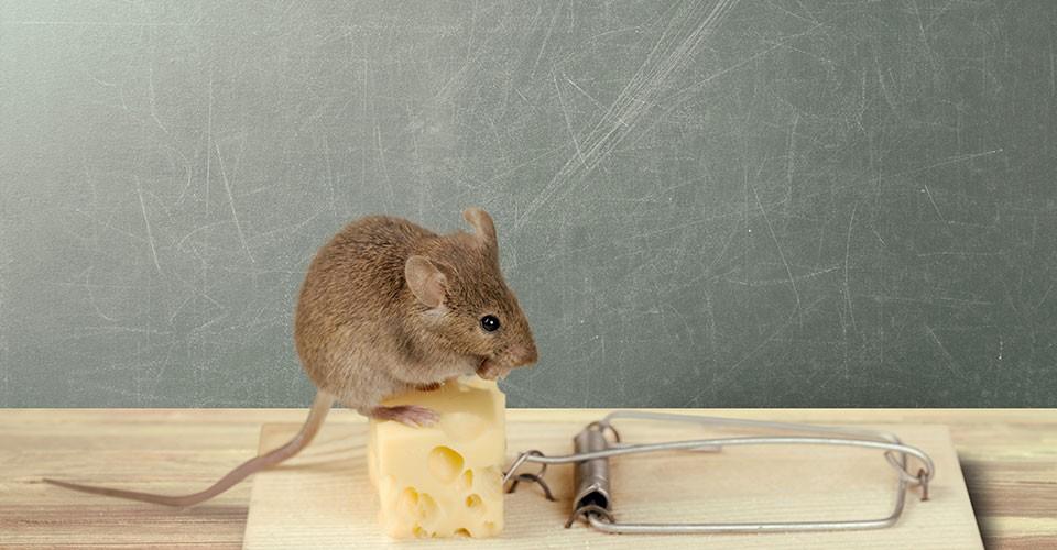 Berikut Cara Ampuh Menangkap Tikus di Rumah Dengan Mudah