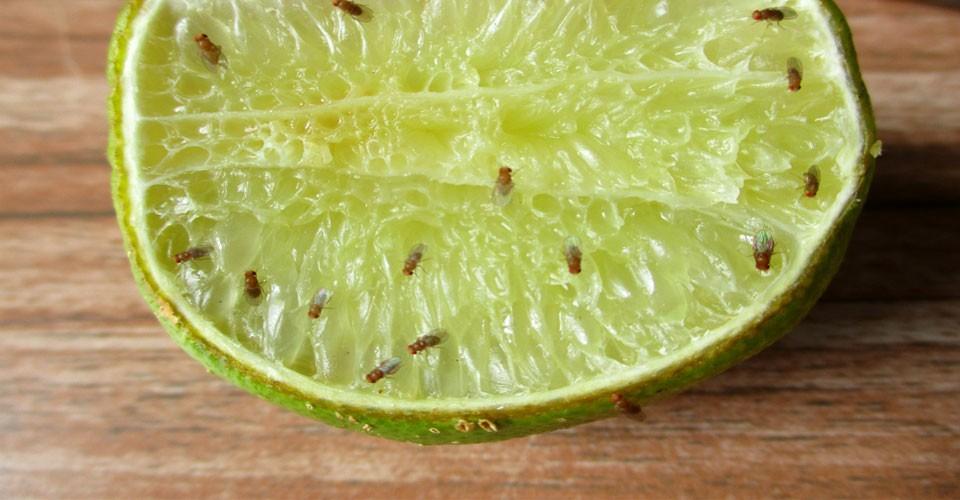 lem-lalat-buah