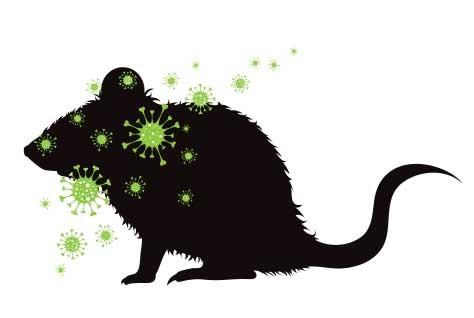 tikus-hantavirus-thumb