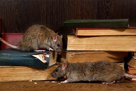 tikus-di-rumah