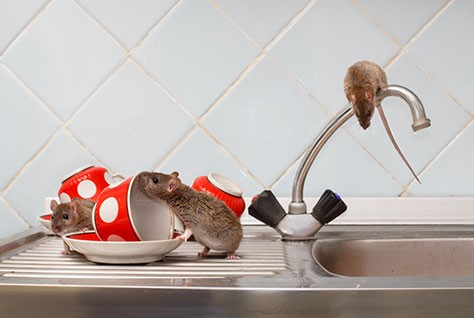 hantavirus-tikus-thumb